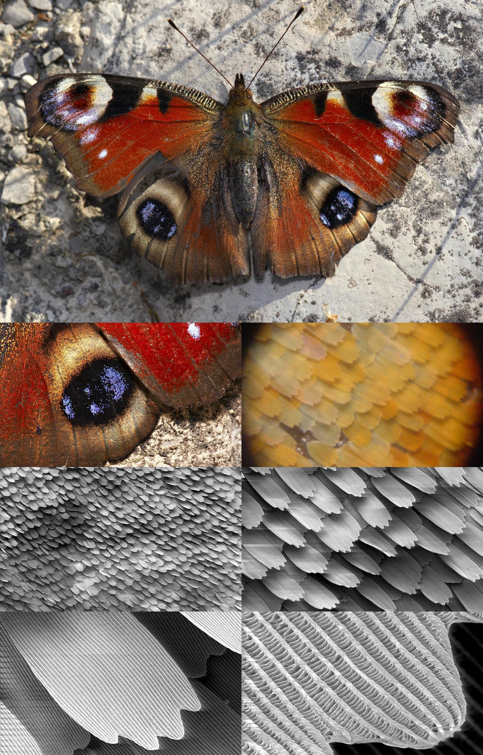 Zoom van vlindervleugel
